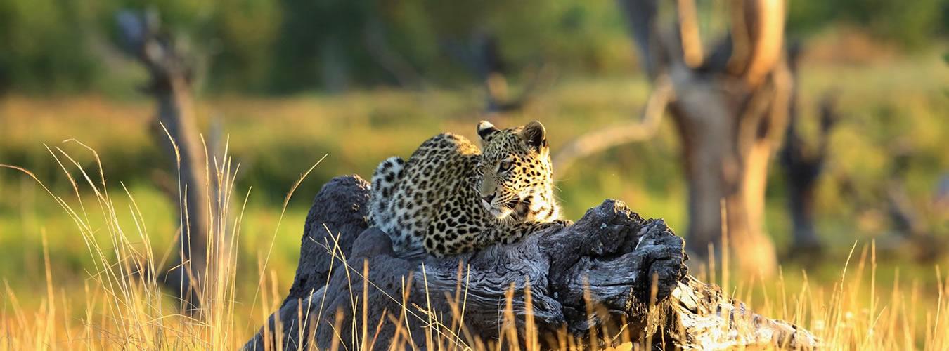 Leopard banner
